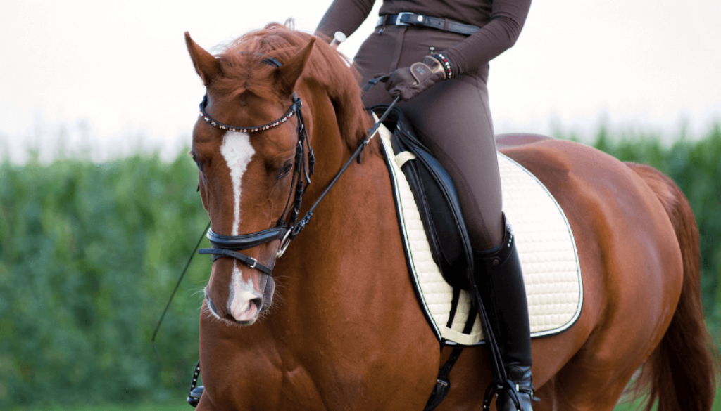chestnut_dressage_horse_schooling_trot